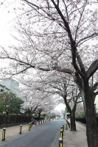 サンアゼリア付近の桜