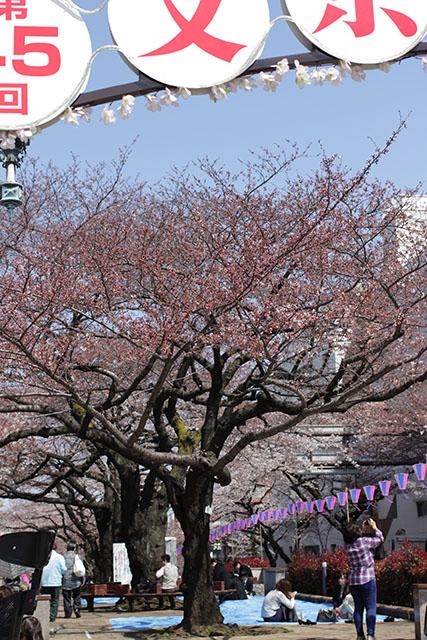 播磨坂は桜祭り開催中!
