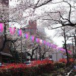3分咲きの播磨坂で桜見物