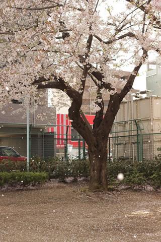 桜も散り始めた
